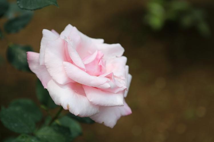 furukawa-rose_0046f.jpg