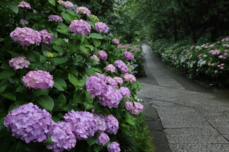 hondoji-ajisai617_0003f.jpg