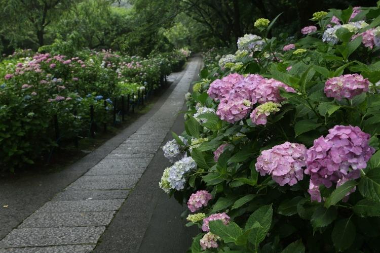 hondoji-ajisai617_0004f.jpg