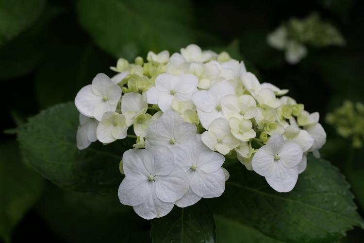 hondoji-ajisai617_0029f.jpg