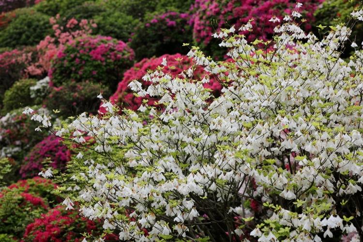 nezu-tsutsuji_0021f.jpg
