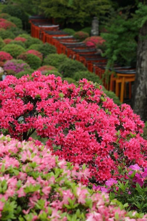 nezu-tsutsuji_0026f.jpg