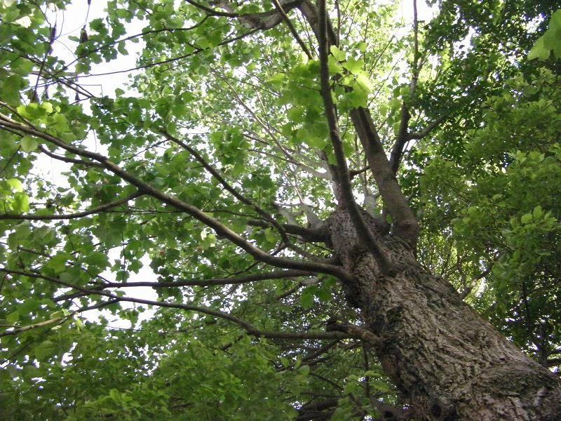 ゆりの木2