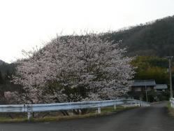 20110409さくら~♪