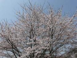 20110410さくら~♪3