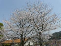 20110410小学校のさくら~♪