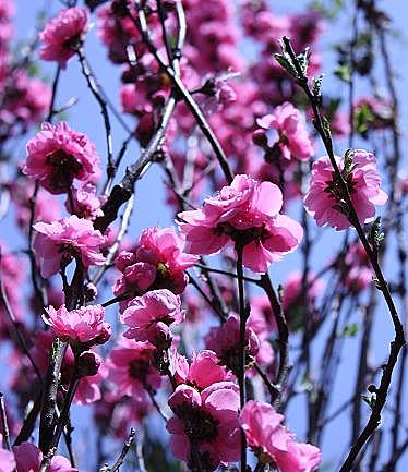 庭の花桃♪