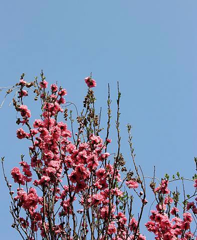照手姫が咲く春の♪