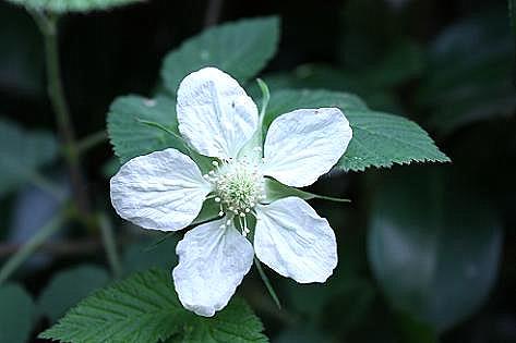 真っ白な草イチゴの花と♪