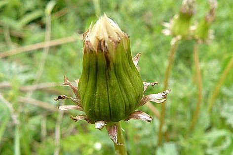 シロバナタンポポの花のあと♪