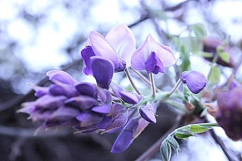 咲き始めたばかりの藤の花♪