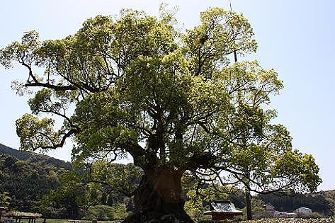 樹齢三千年の大楠♪