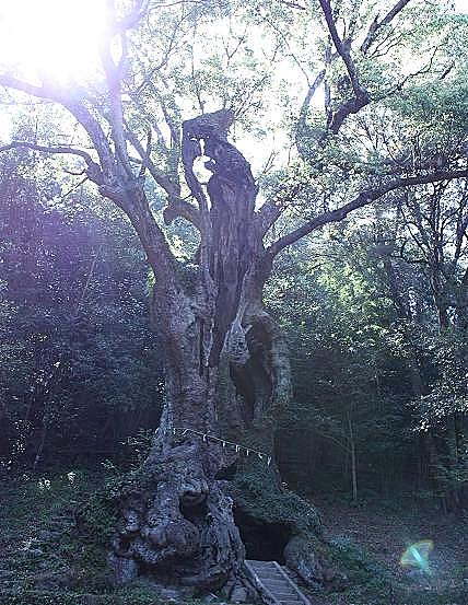 大きな楠のおじいさん♪