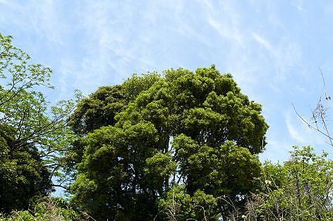 畑の上の藪の木♪