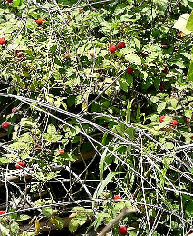 野イチゴいっぱい♪