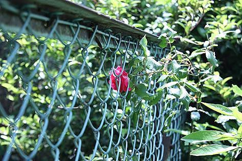 赤いバラも♪