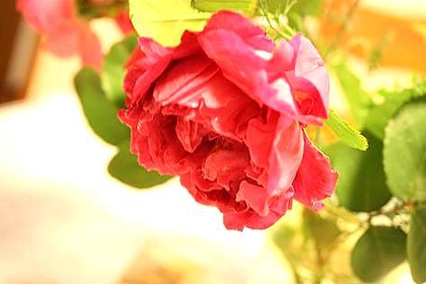 このバラは?