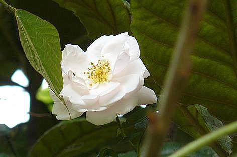 もう一つのバラが咲いた♪