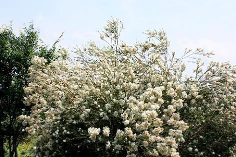 白いフワフワの木♪