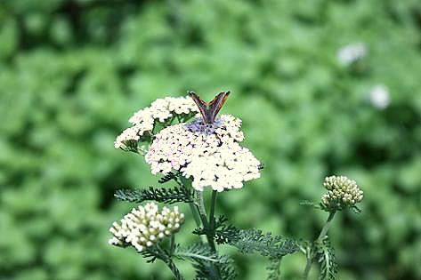 ヤロウとシジミ蝶♪