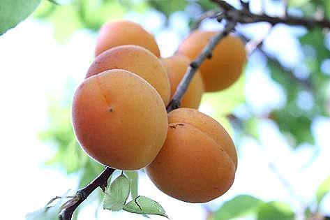 杏が生ってる♪