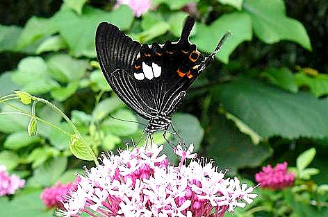 アゲハ蝶♪