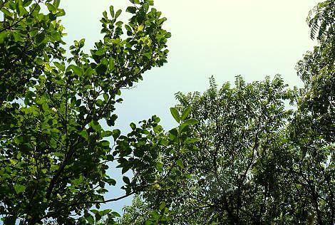 蝉が鳴く木♪