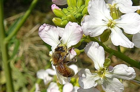赤い大根の花に蜂さん♪