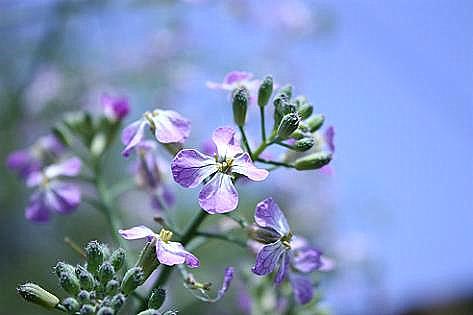 ミラノ大根の花♪