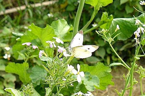 モンシロ蝶も♪