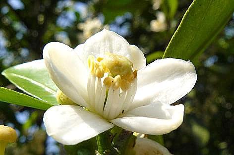 スィートスプリングの花♪