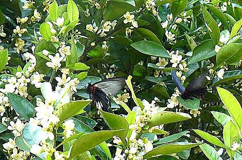 黒いアゲハ蝶もヒラヒラ♪
