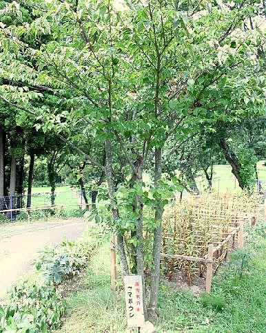 ヤマボウシの木♪