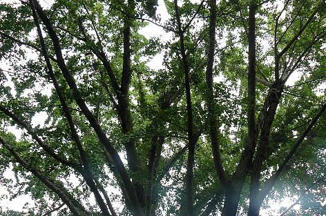 銀杏の大木♪