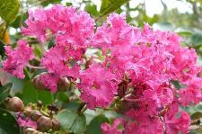 サルスベリの花♪