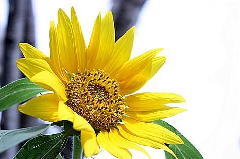 ポツンとヒマワリの花♪