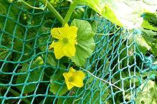 ウリ系の花?