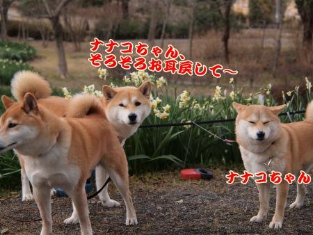 ナナコちゃんお耳~