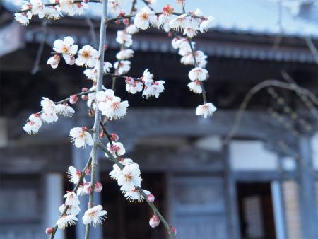 梅も開花♪