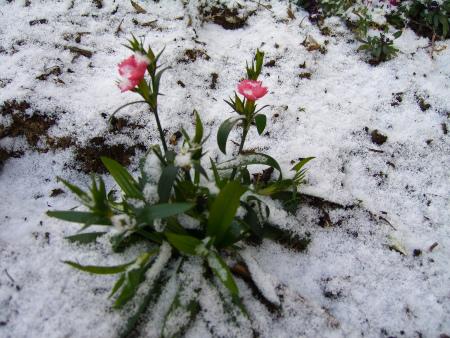 花壇もうっすら雪が!