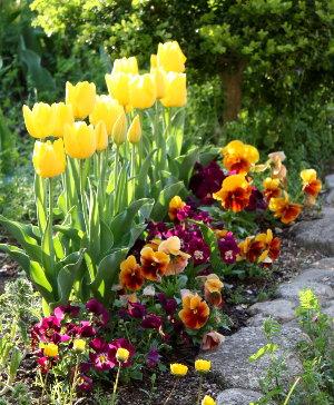 tulipyellow1104.jpg