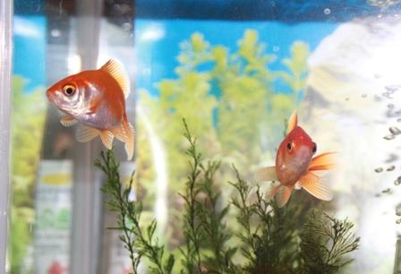 金魚 その後