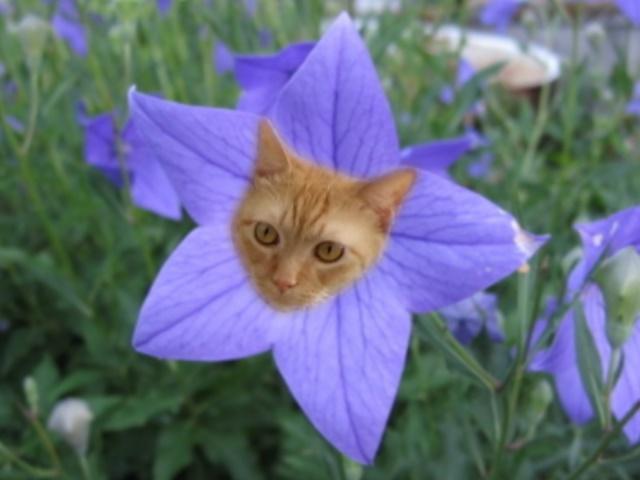 小夏桔梗の花