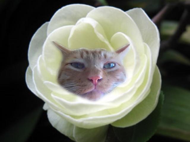 八朔ボケの花