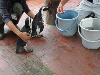 ペンギンのごはんタイム2