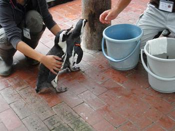 ペンギンのごはんタイム3