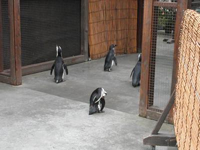 お散歩ペンギン1