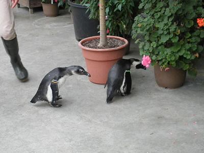 お散歩ペンギン2