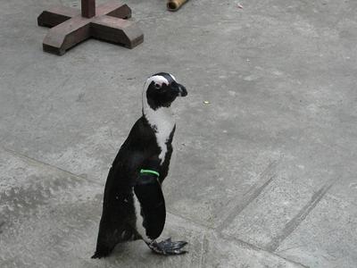 お散歩ペンギン3