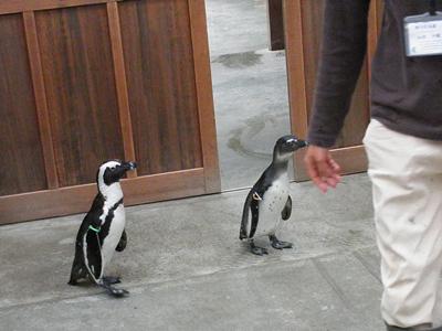 お散歩ペンギン4